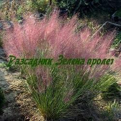 Muhlenbergia capillaris (Muhly grass)  - сорт Основен вид (Мюленбергия), Poaceae